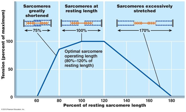Slika 1: Zgoraj prikazan graf prikazuje razmerje med dolžino sarkomere (osnovna funkcionalna enota mišice) in napetostjo, ki jo mišica razvije. Če pogledamo graf preko abscise, ga lahko razdelimo na 3 dele. V prvem delu (<80% Lmax) je mišica zelo skrajšana in prečni mostički (zunanja modra črta ter vmesna oranžna) niso optimalno postavljeni. V drugem delu (med 80-120%) je dolžina najbolj optimalna. Vzpostavljenih je lahko največ prečnih mostičkov in mišica je v določenem kotu sklepa najmočnejša. To v praksi pomeni, da ko popolnoma skrčite komolec, se nahajate v prvi tretjini grafa, ko komolec popolnoma iztegnete pa v zadnji. Nekje vmes se nahaja položaj druge tretjine grafa. Pridobljeno iz: http://classes.midlandstech.edu/carterp/Courses/bio210/chap09/210_figure_09_22_labeled.jpg